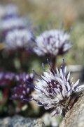 Una florecilla de Sierra Nevada