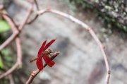 una libélula roja
