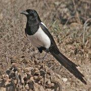 Urraca común (Common Magpie)