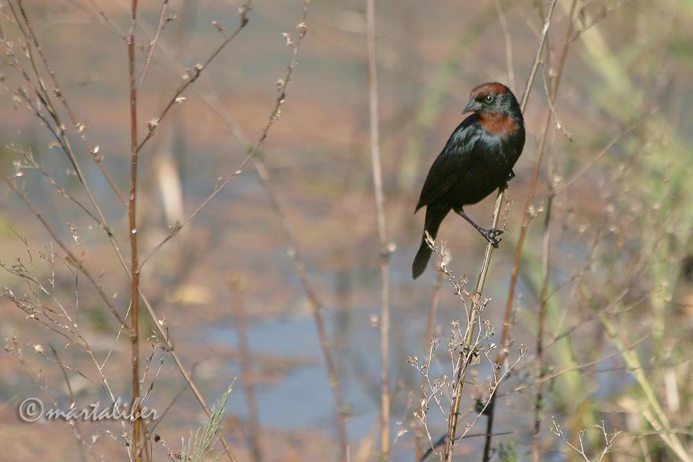 Varillero Congo en su habitat (marta Liber)