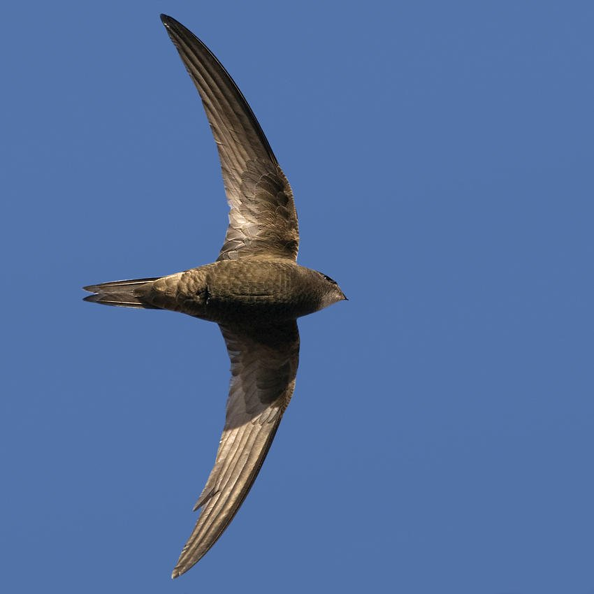 Vencejo común (Common Swift) (Salvador Solé Soriano)
