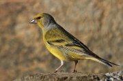 Verderón serrano (Citril Finch)