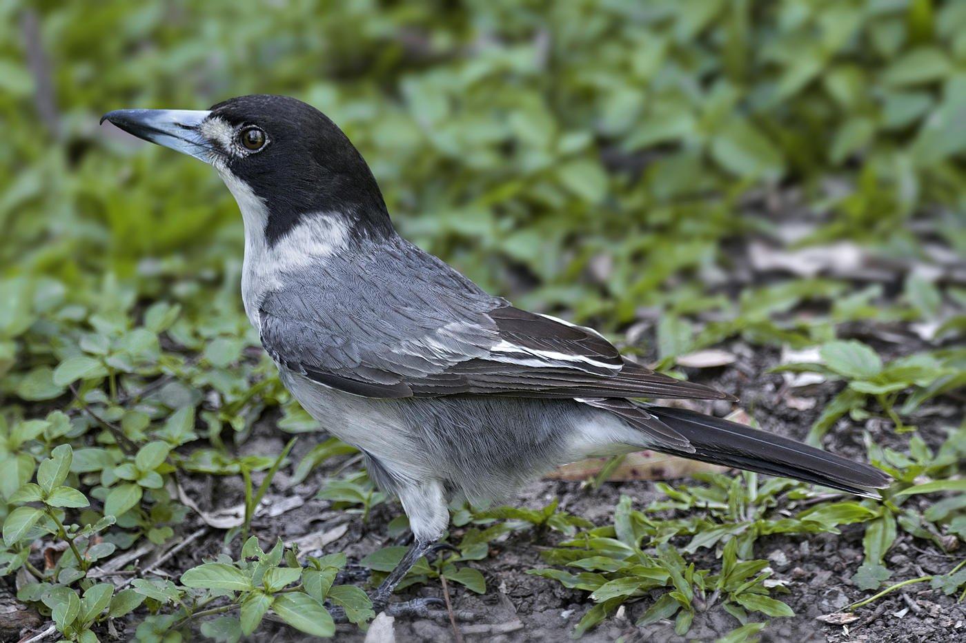 Verdugo acollarado (Grey Butcherbird) (Salvador Solé Soriano)
