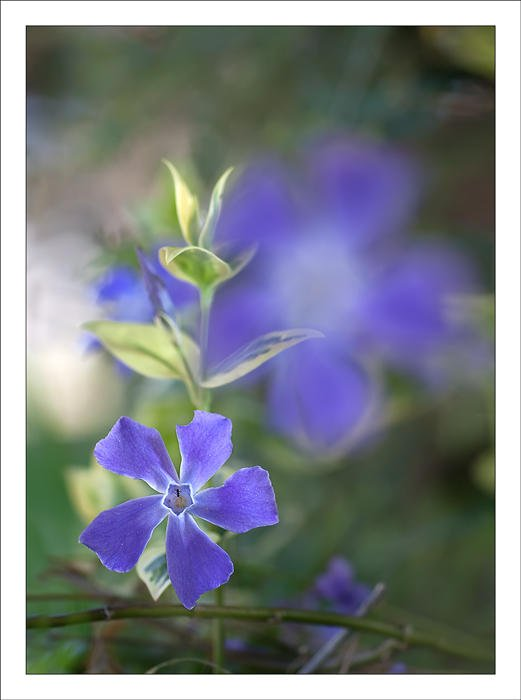 Vinca major (Alex Alonso)