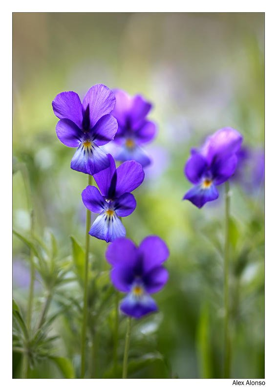 Viola bubanii ( pensament del Montseny) (Alex Alonso)