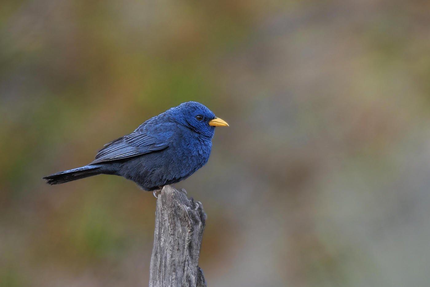 Yal azul (Blue Finch) (Salvador Solé Soriano)