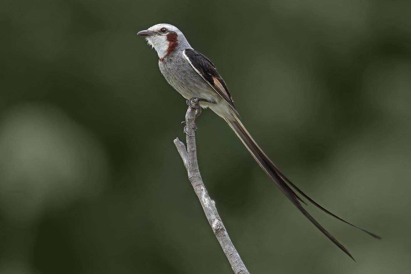 Yetapá grande (Streamer-tailed Tyrant) (Salvador Solé Soriano)