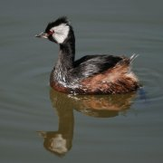 Zampullín pimpollo (White-tufted Grebe)