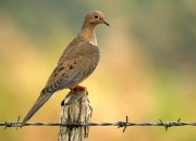 Zenaida huilota (American Mourning Dove)