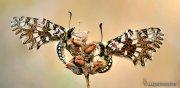 Zerinthya rumina ( Pareja de marioposas arlequín).
