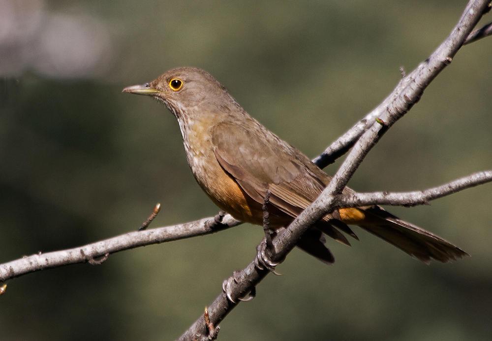 Zorzal Colorado (marta Liber)